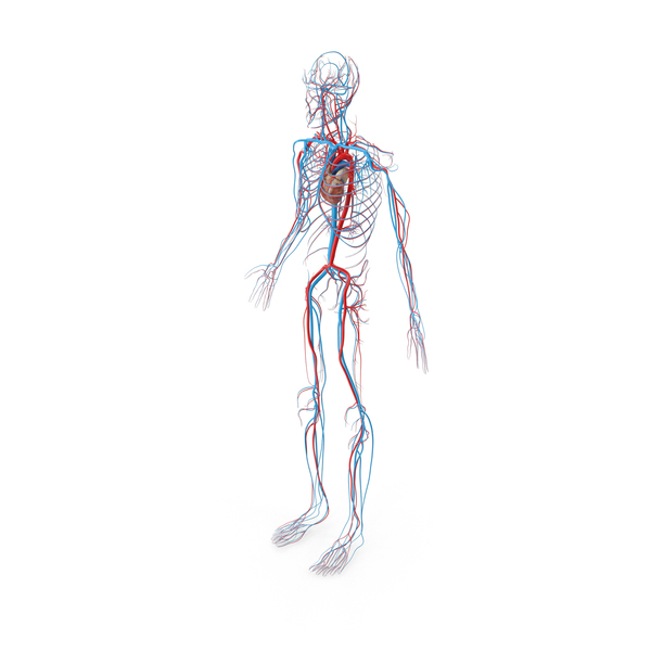 Male Circulatory System PNG Images & PSDs for Download.
