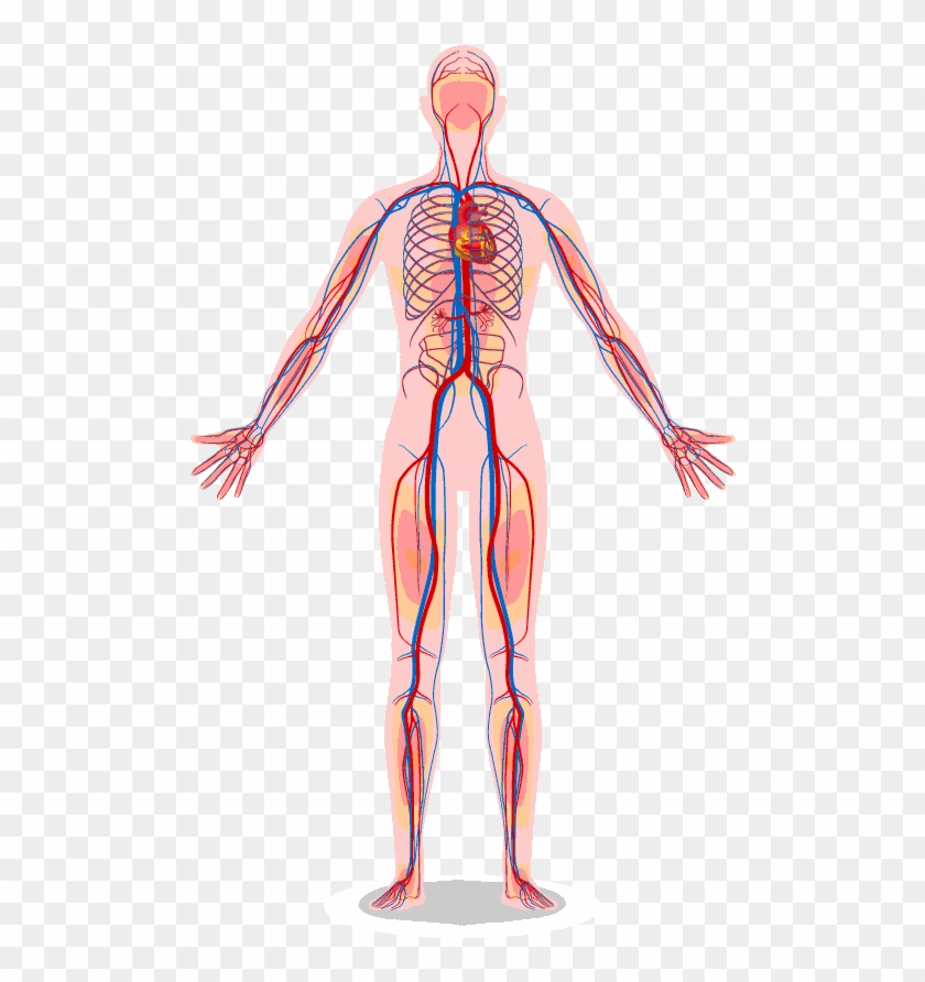 The Vascular System Contains Vessels That Transmit.