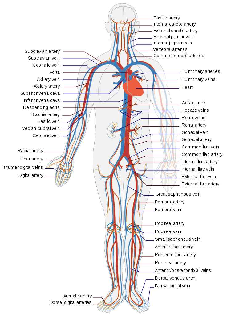 File:Circulatory System en.svg.