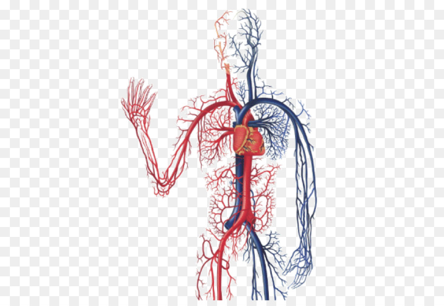 Download Free png The Cardiovascular System Circulatory system.