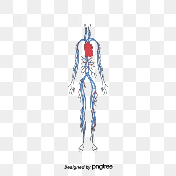 Blood Circulation PNG Images.