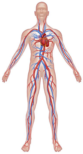 Circulatory System Png & Free Circulatory System.png Transparent.
