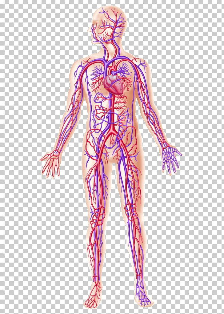 Human Body Human Anatomy Blood Vessel Circulatory System PNG.