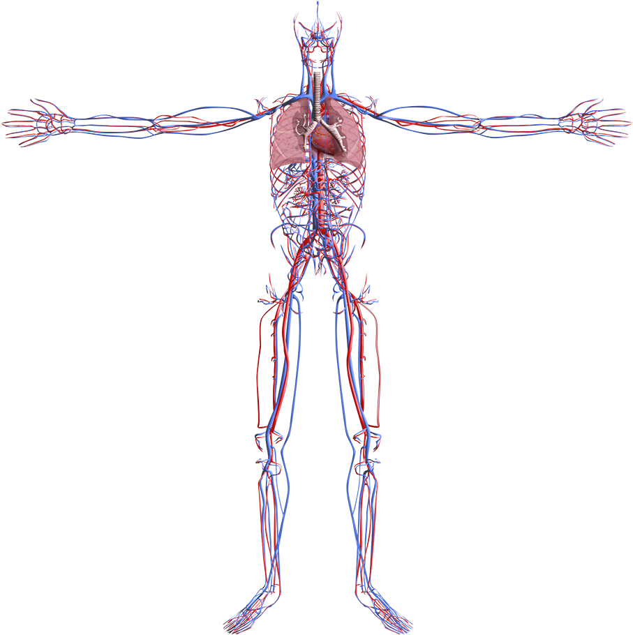 HD 3d Model Cardiovascular System Transparent PNG Image Download.