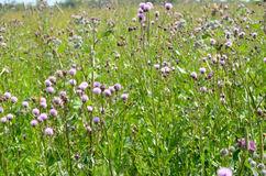 Flowers Of Cirsium Arvense (Carduus Arvensis) Stock Photo.