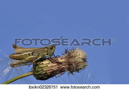 Stock Photography of Common field grashopper (Chorthippus brunneus.