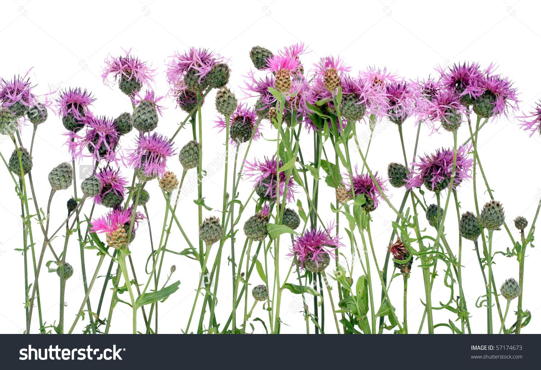 Thistle Cirsium Arvense Pink Flowers Buds Stock Photo 57174673.