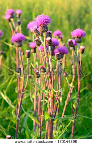 Cirsium Arvense Stock Photos, Royalty.