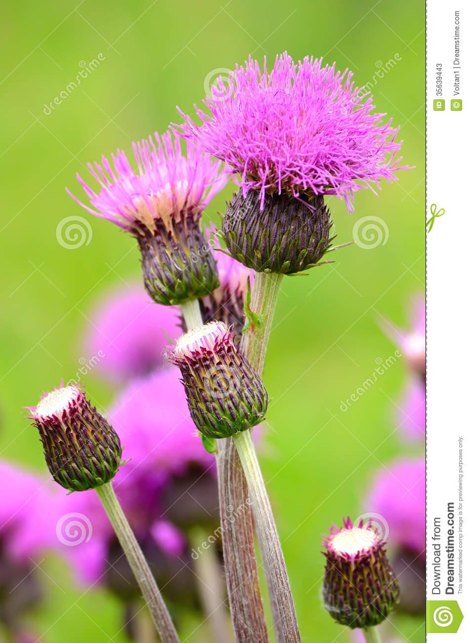 Cirsium Arvense Flowers Stock Photos.