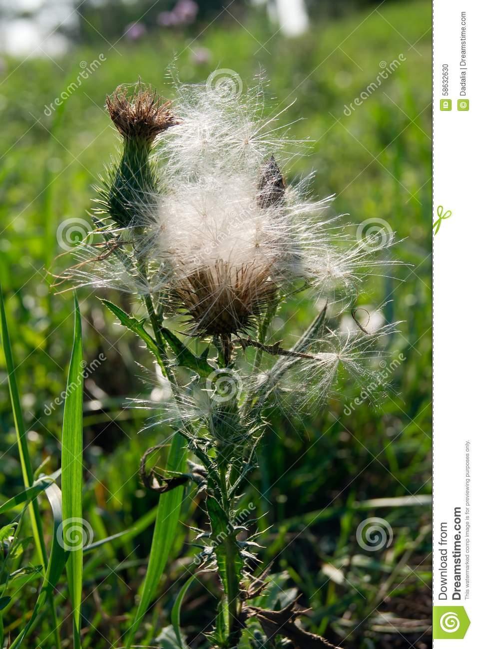 Canada Thistle (Cirsium Arvense) Stock Photo.