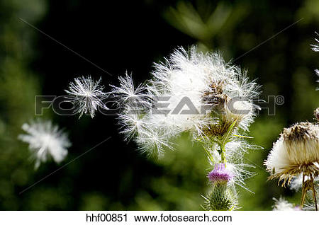 Stock Photography of Common thistle, Cirsium vulgare, close.