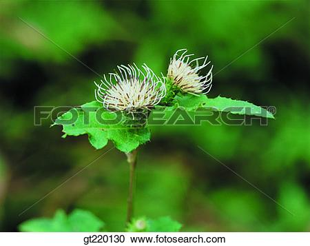 Stock Photography of Cirsium, thistle, grass, weed, Chiri mountain.