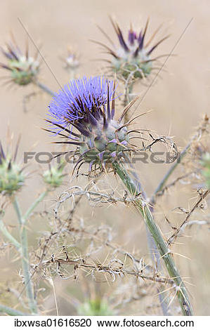 """Stock Photography of """"Spear thistle, Bull thistle, Plumed thistle."""
