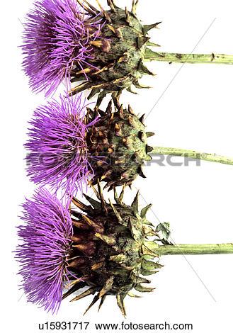 Picture of Thistles (Cirsium) u15931717.