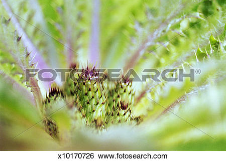 Stock Images of Meadow thistle (Cirsium spp.) close.