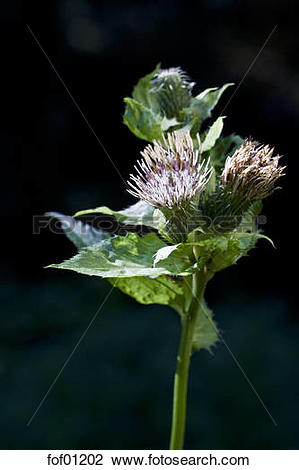 Stock Photo of Germany, Bavarian Forest, Cabbage thistle (Cirsium.