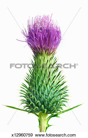 Stock Photograph of Spear thistle (Cirsium vulgare) on white.