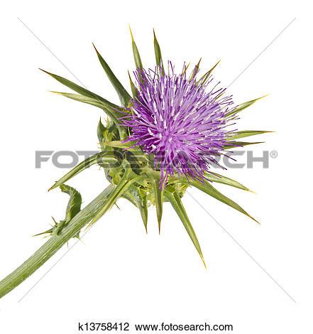Stock Photo of Flowering Spear Thistle (Cirsium vulgare) k13758412.