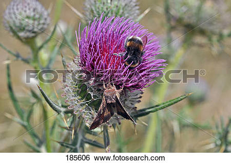 Stock Images of Woolly Thistle (Cirsium eriophorum), flower with.