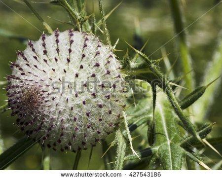 Marijuana Bloom White Hairs Green Leafs Stock Photo 402050386.