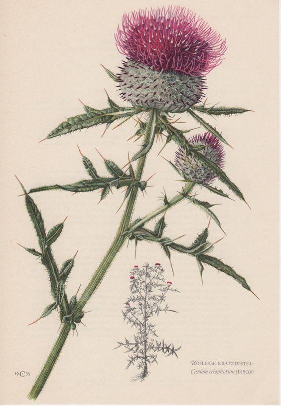 1955 Woolly Thistle Vintage Lithograph Botanical Print Cirsium.
