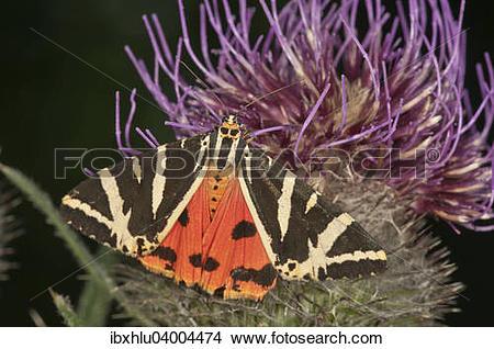 "Stock Photo of ""Jersey Tiger (Euplagia quadripunctaria) sucking on."
