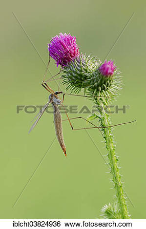 "Stock Images of ""Crane Fly (Tipula paludosa) on a Spear Thistle."