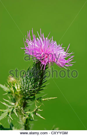 Plumed Stock Photos & Plumed Stock Images.