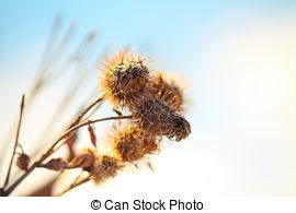 Cirsium lanceolatum clipart #11