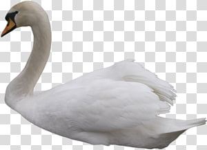 Cisne transparent background PNG cliparts free download.