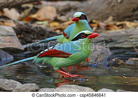 Common green magpie Cissa chinensis Birds Eating Water in Pond.