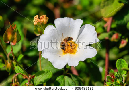 Cistus Stock Images, Royalty.