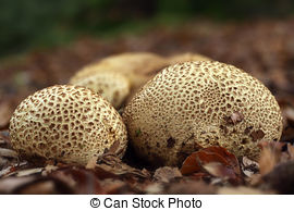 Pictures of scleroderma citrinum, common earthball, mushroom on a.