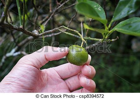 Stock Photo of Citrofortunella microcarpa.