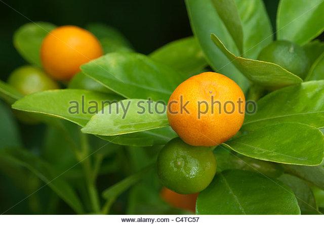 Citrus Plant Horizontal Stock Photos & Citrus Plant Horizontal.