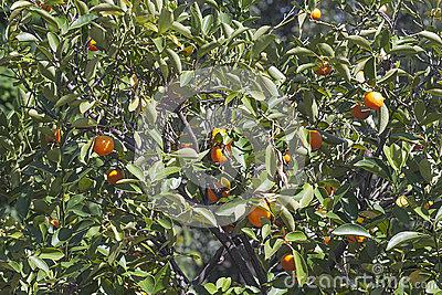 Calamansi Tree Stock Image.