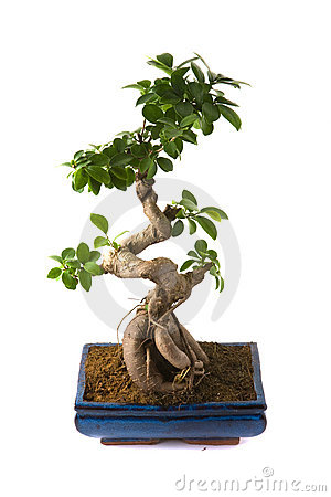 Microcarpa Stock Photos, Images, & Pictures.