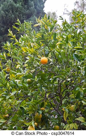 Stock Photo of An orange is the citrus Citrus ×sinensis (syn.