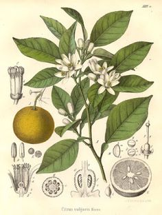 Vintage botanical print Image Wild Orange Tree (Citrus vulgaris.