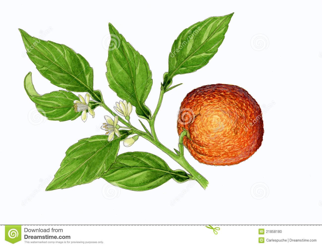 Orange Tree (Citrus Aurantium) Stock Photo.