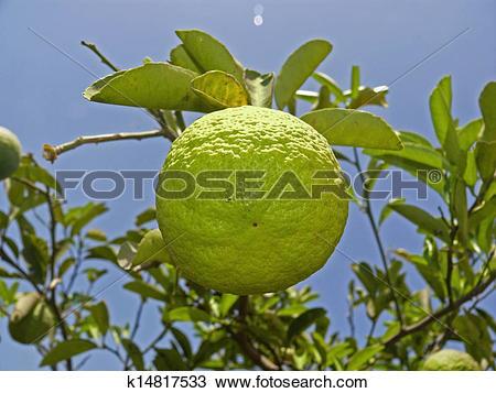 Stock Photo of Citrus aurantium Linn, Sour Orange, Idlimbu.