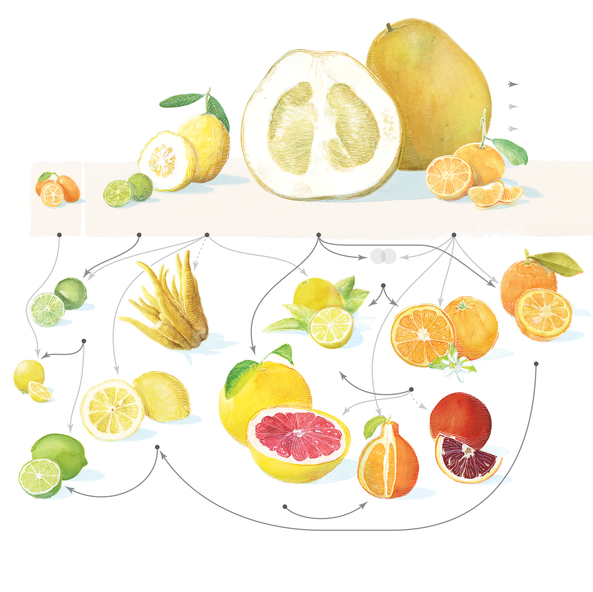 The Citrus Family Tree.
