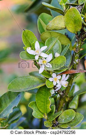 Stock Images of Flower of Kumquats, Fortunella sp, oranges citrus.