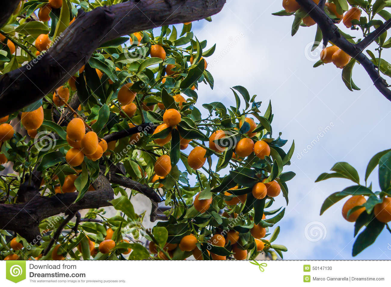 Kumquat Tree Stock Photo.