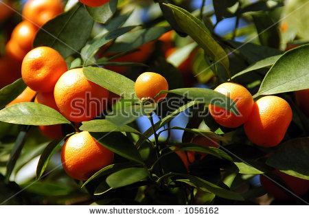 Calamondin Citrus Oranges, (X Citrofortunella Mitis), Native To.