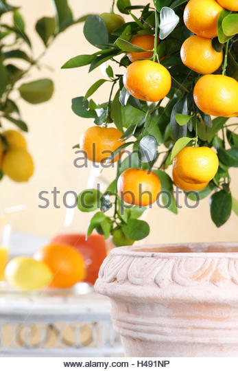 Potted Citrus Tree Stock Photos & Potted Citrus Tree Stock Images.