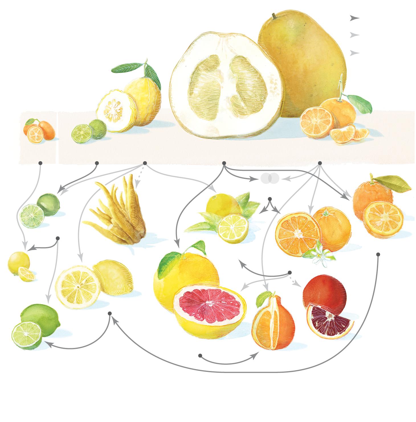 The Citrus Family Tree.