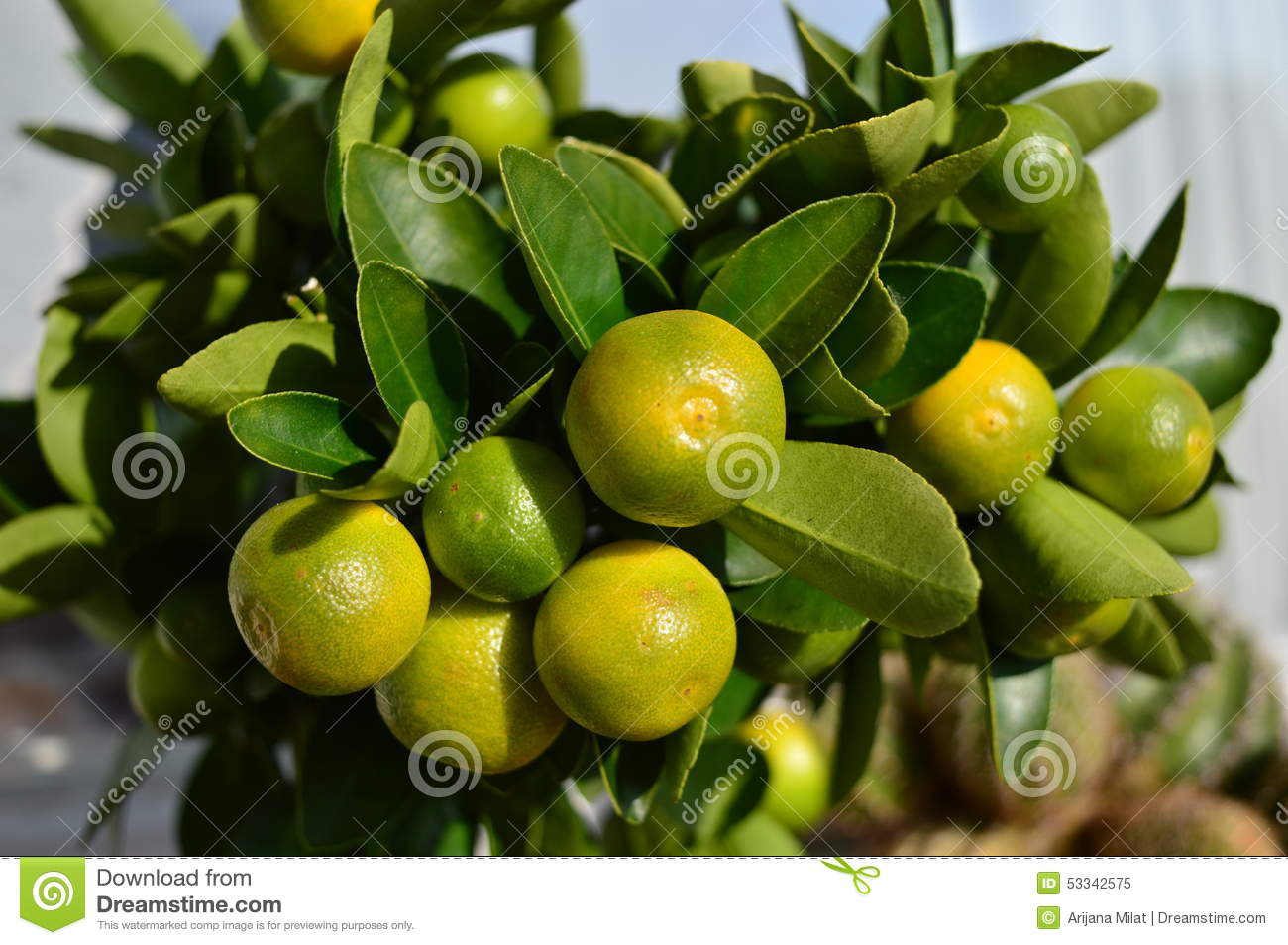 Citrus Calamondin Stock Photo.