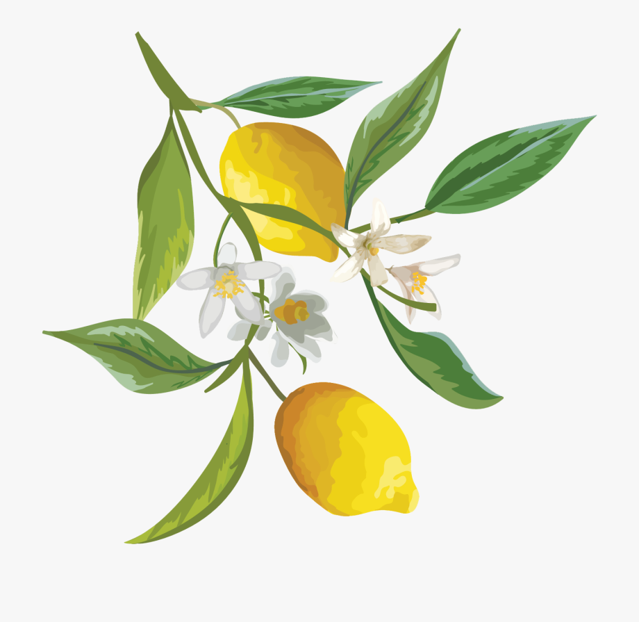Lemons Clipart Citrus Tree.