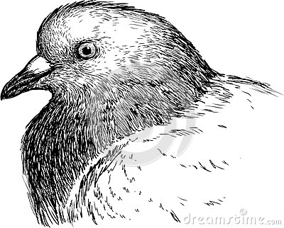 Pigeon Head Profile Stock Photos, Images, & Pictures.
